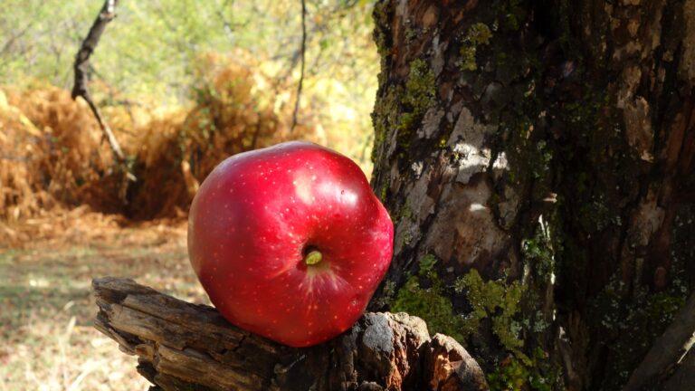Дивите ябълки над село Косово и небето под Хвойна